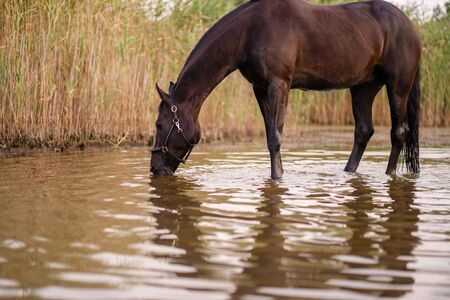 Close-up of a dark horse drinks water from a lake. Horse ride.