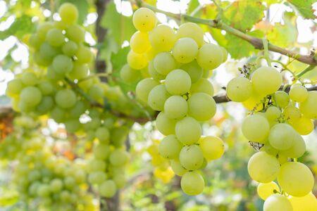 frutta succosa intrecciata di uva in un giardino verde. Archivio Fotografico