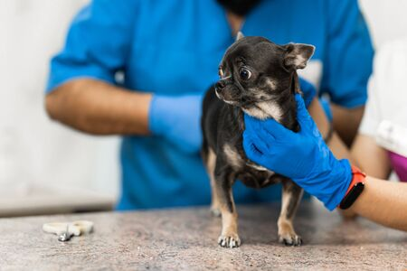 Veterinarians clean the paraanal glands of a dog in a veterinary clinic. A necessary procedure for the health of dogs. Pet care. 版權商用圖片