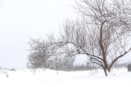 Albero secco invernale in mezzo a un campo nella neve. Paesaggio invernale.