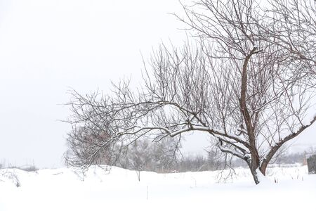 Zimowe suche drzewo pośrodku pola na śniegu. Zimowy krajobraz.