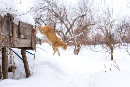 Winter. Red cat jumping in the snow. Banque d'images