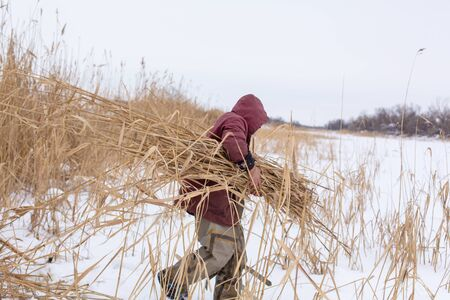 Winter. A man mows and collects dry reeds on an icy lake