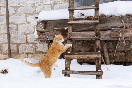 Winter. Ginger cat is about to climb into the attic on a wooden staircase.