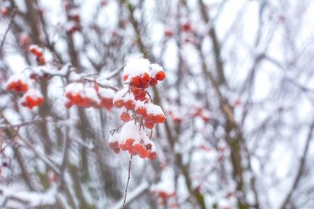 A bunch of rowan berries covered in snow hangs on a bush Banco de Imagens