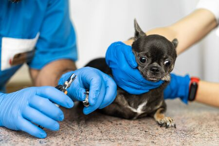 A professional veterinarian cuts the claws of a small dog of the Chihuahua breed on a manipulation table in a medical clinic. Pet care concept.