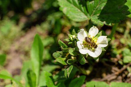 A bee pollinates a strawberry flower in the garden. Banco de Imagens