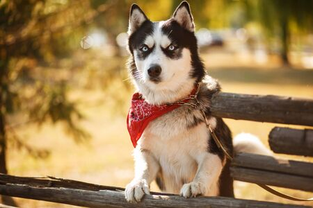 Portrait of gorgeous dog breeds husky in summer day.