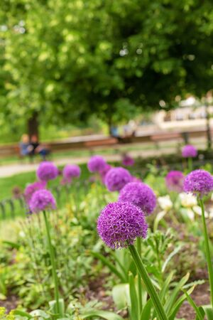 Onion blossoms, purple flowers in the flowerbed. Stock fotó