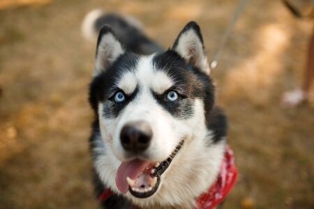 Portrait of gorgeous dog breeds husky in summer day. Stok Fotoğraf - 137560014