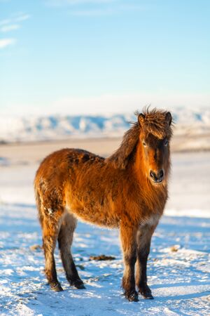 Icelandic horse walks in the snow in winter. Icelandic winter landscape.