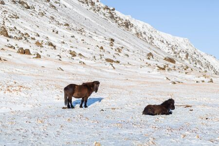 Icelandic horses walk in the winter in the snow on a hillside.