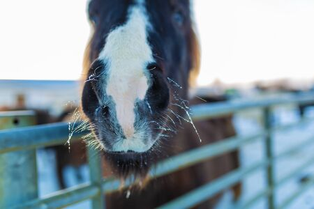 Close-up portrait of an Icelandic horse in a wooden paddock on a farm in winter. Banco de Imagens