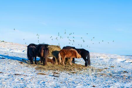 Icelandic horses walk in the snow near a haystack. Farm in Iceland.