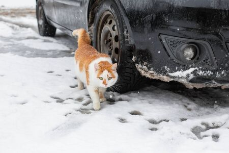 White-red fat cat walks in the snow in the yard near the car.