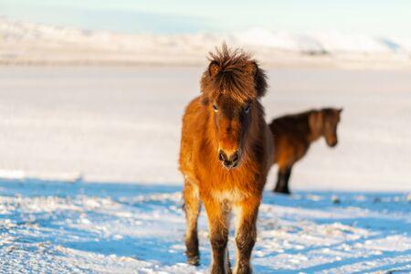 Icelandic horse walks in the snow in winter. Icelandic winter landscape.