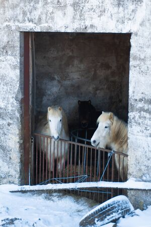 Horse farm in iceland in winter