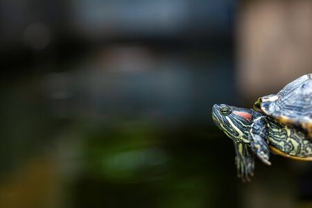 Red Eared Terrapin - Trachemys scripta elegans. Red eared slider turtle in the summer sunlight. Фото со стока