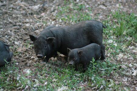 Vietnamese black bast-bellied pig. Herbivore pigs.