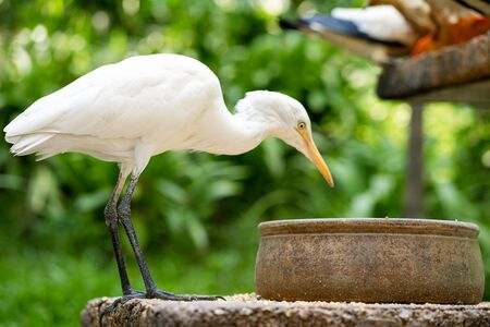 Little white heron with a yellow head in a green park. Bird watching. 版權商用圖片
