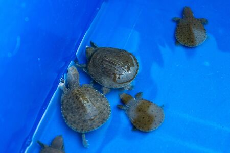 Turtles in a blue basin. Turtles will be released. Rescued turtles. 写真素材