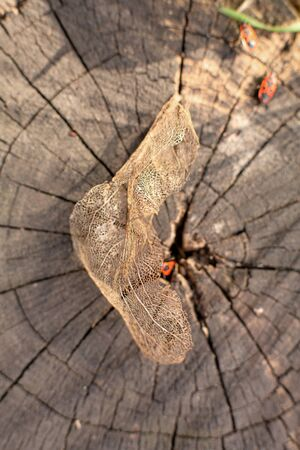 Dry skeletonized leaf on a stump.