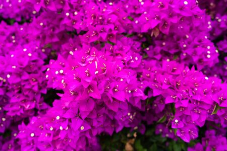 Violet bougainvillea flower. Bright saturated color