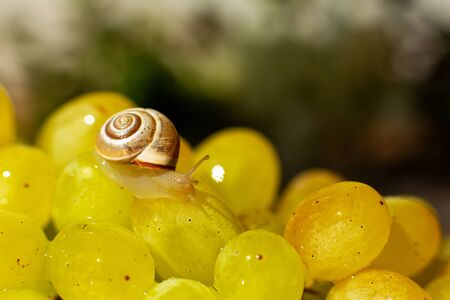 Close-up of a small snail crawling over grapes quiche mish.