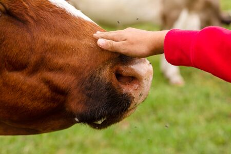 Girl stroking a cow on the nose. Animal care.