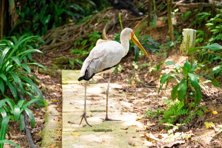 Milk stork walks in the park. Beauty of nature. Bird watching. Banco de Imagens