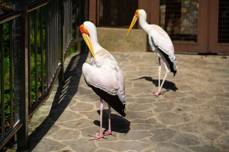A pair of dairy storks walks along a path in a park. Banco de Imagens