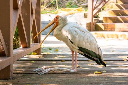 A milk stork sits on the ground with an open beak. Hot day. Banco de Imagens