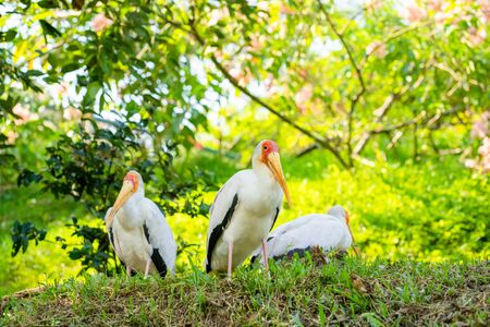 A flock of milk storks sits on a green lawn in a park. Banco de Imagens