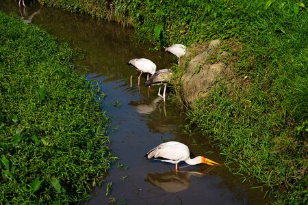 A flock of milk stork is hunting in a pond. Looking for fish. Banco de Imagens