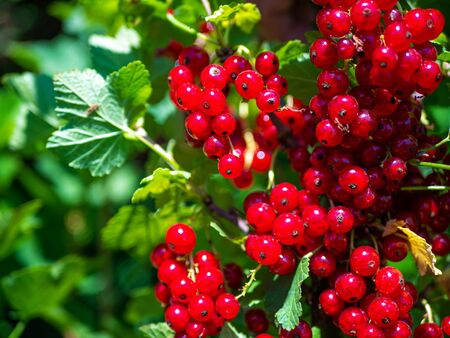 Branch of red currant berries on a bush. Vitamins of the summer