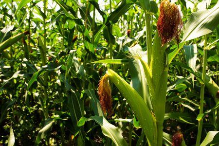 Green stalk of corn on a corn field