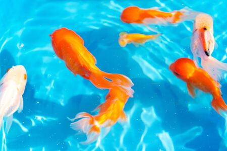 Colored tropical fish in a decorative pond. Orange decorative fish on a blue background. Flock of ornamental fish.