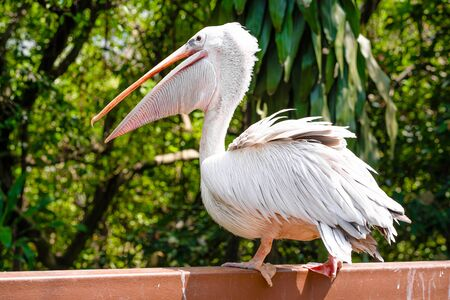 A white pelican in a park sits on a fence close-up. Bird watching.