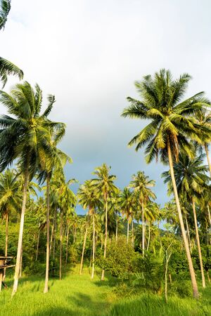 palm grove. Palm trees in the tropical jungle. Symbol of the tropics and warmth. Stok Fotoğraf