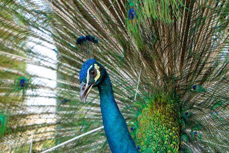 Beautiful well-groomed male peacock, spreading its tail, luxurious tail, flirts with a female.