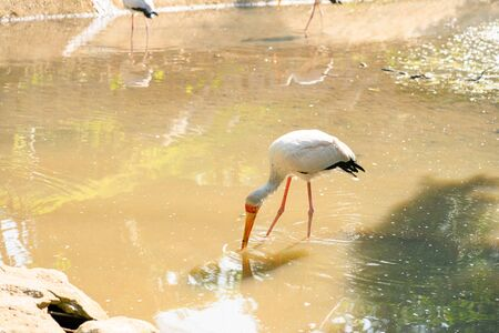A flock of milk stork is hunting in a pond. Looking for fish. Imagens