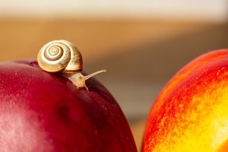 Little snail crawling on ripe red nectarines.