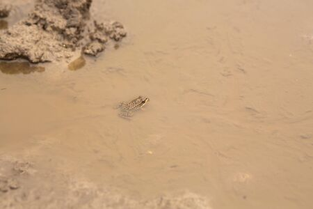 A frog in a puddle. merges with the color of dirt.
