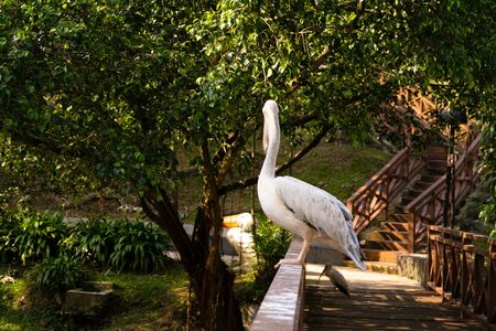 The white pelican that lives in the bird park sits on the railing of the bridge.