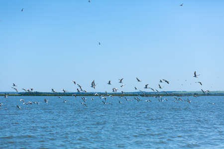 A flock of seagulls hunt fish in the river. Imagens
