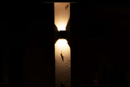 Gecko sits on a wall illuminated by a lantern. 写真素材 - 150645785