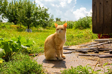 Red cat in the courtyard of the house in the village. Red cat walks summer outdoors.