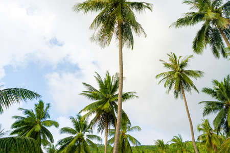 palm grove. Palm trees in the tropical jungle. Symbol of the tropics and warmth. 版權商用圖片