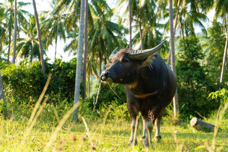 A buffalo with large horns grazes on the lawn in a green tropical jungle 版權商用圖片