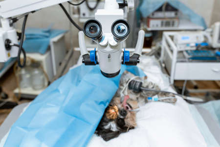 Sterile operating room in a veterinary clinic. Preparing for the operation of the dog. The ophthalmologist operates on the eye of the dog. The dog is under anesthesia on the operating table.